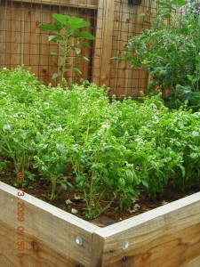 basil patch