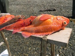 Alaskan Rock Fish